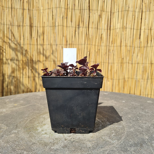Mint Mentha 'Berries & Cream'
