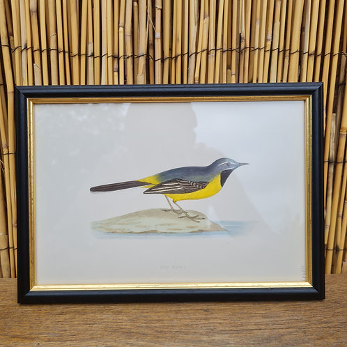 Antique 1870 Framed Grey Wagtail Print