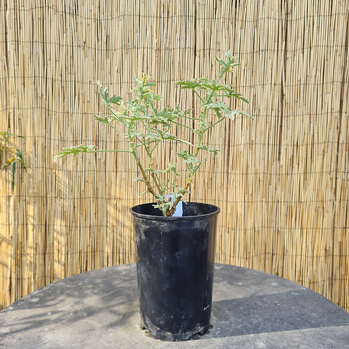 Pelargonium Lady Plymouth