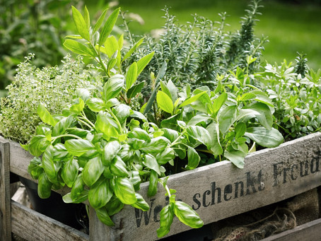 Thomas Writes: My Favourite Herbs!