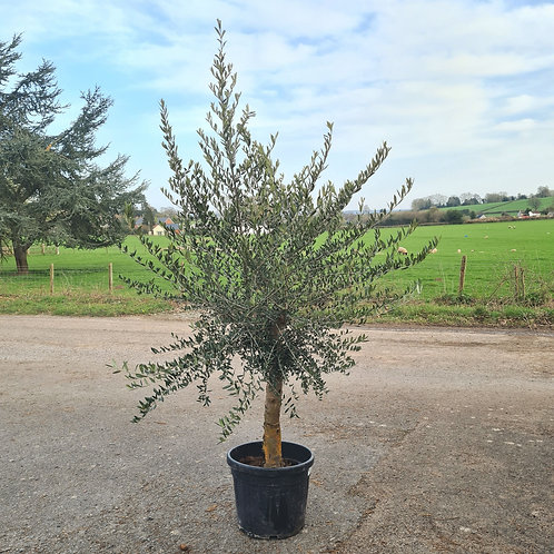 Standard Mature Olive Tree