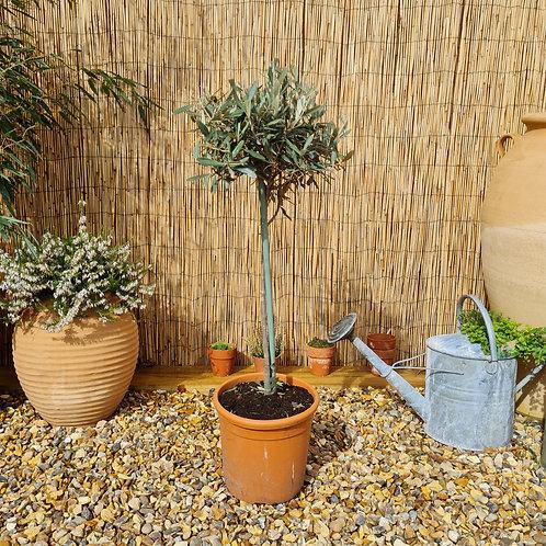 Young Mediun Olive Trees