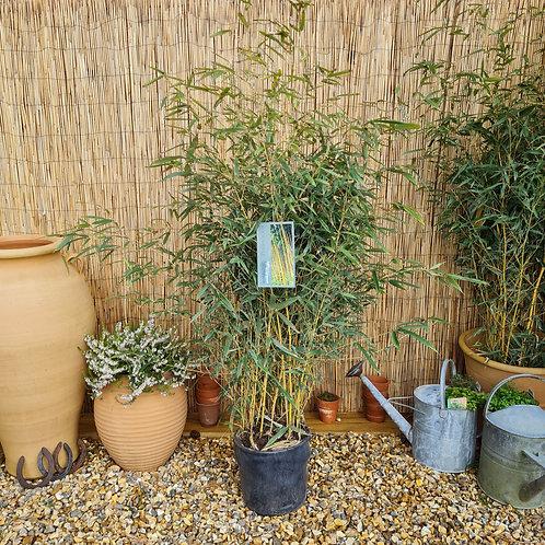 Yellow Bamboo, phyllostachys aureosulcata
