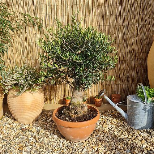 Bonsai Style Olive Tree 7