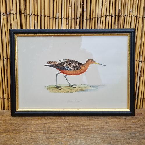 Antique 1870 Framed Bar-Tailed Godwit Print