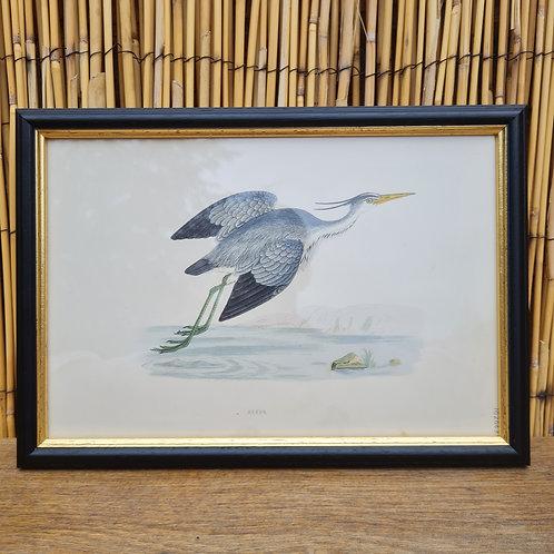 Antique 1870 Framed Heron Print