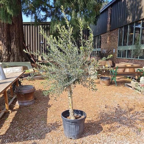 Standard Mature Olive Tree 11