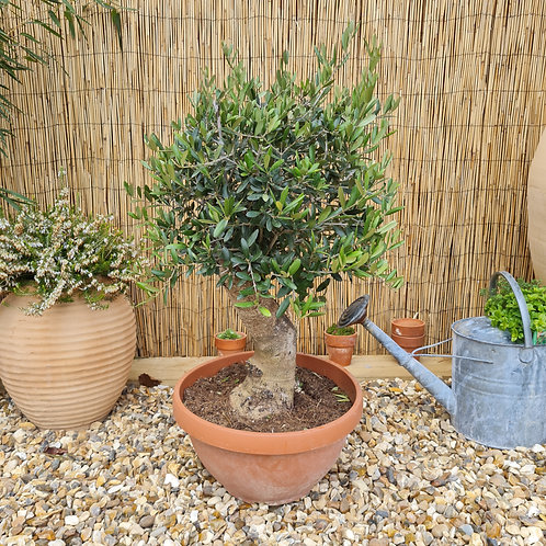 Bonsai Style Olive Tree 11