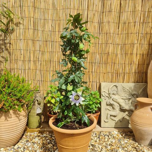 Passion Flower Plants