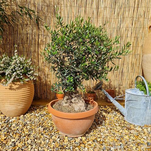 Bonsai Style Olive Trees