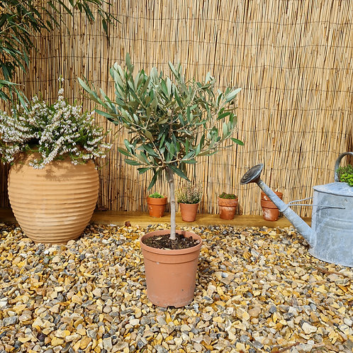 'Baby' Olive Trees