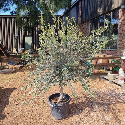 Short Mature Olive Tree 7