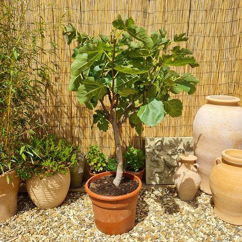Mature Fig Trees