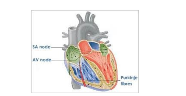 How the human heart works for athletes and coaches trampoline well it all starts in the sinoatrial node sa node which is a bundle of cells that actually create an action potential electrical signal ccuart Images