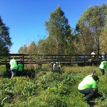 Irises being planted by volunteers in the Bayou Sauvage Wildlife refuge.