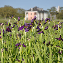 Irises discovered by LICI blooming in th