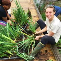 Preparing irises for planting