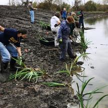 Volunteers from multiple groups planting irises at the Sankofa Wetlands Park in the Lower Ninth Ward neighborhood of New Olreans.