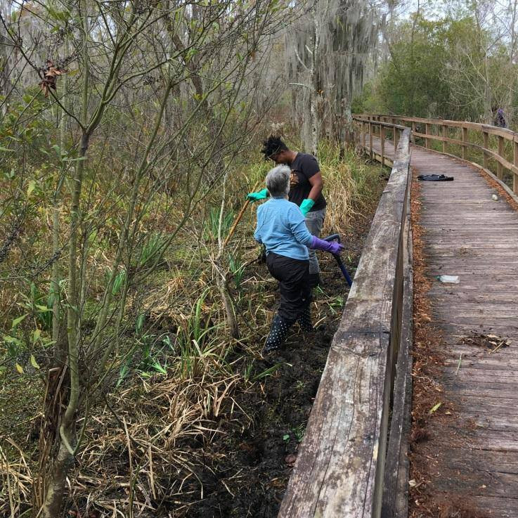 Louisiana iris planting at the Town of Jean Lafitte boardwalk