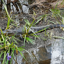 An alligator does a number on recently irises planted by LICI at the Morgan City Visitor's Center.