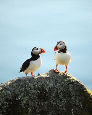 A puffin on a cliff, Norway.jpg
