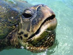 Lanikea Turtle