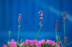 lavender-1426835-m