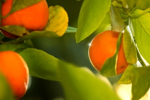tangerines-on-a-tree-1404836-m