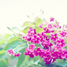 שושי גבאי סדנת פרחי באך 1