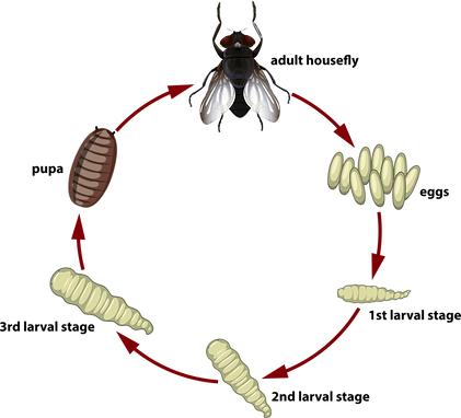 life cycle of flies.png