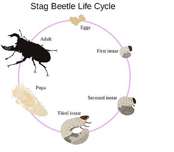 Siklus Hidup Kumbang.png