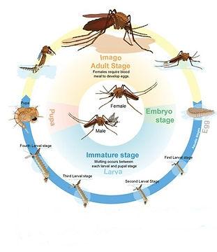siklus hidup nyamuk.jpg