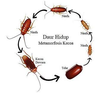 Metamorfosis Kecoa.jpg