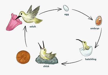 Siklus Hidup Burung.png