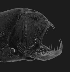 Anoplogaster cornuta (Fangtooth)