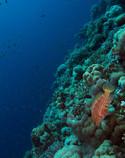 Coral wrasse on reef