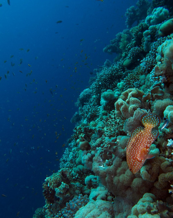 Coral wrasse on reef