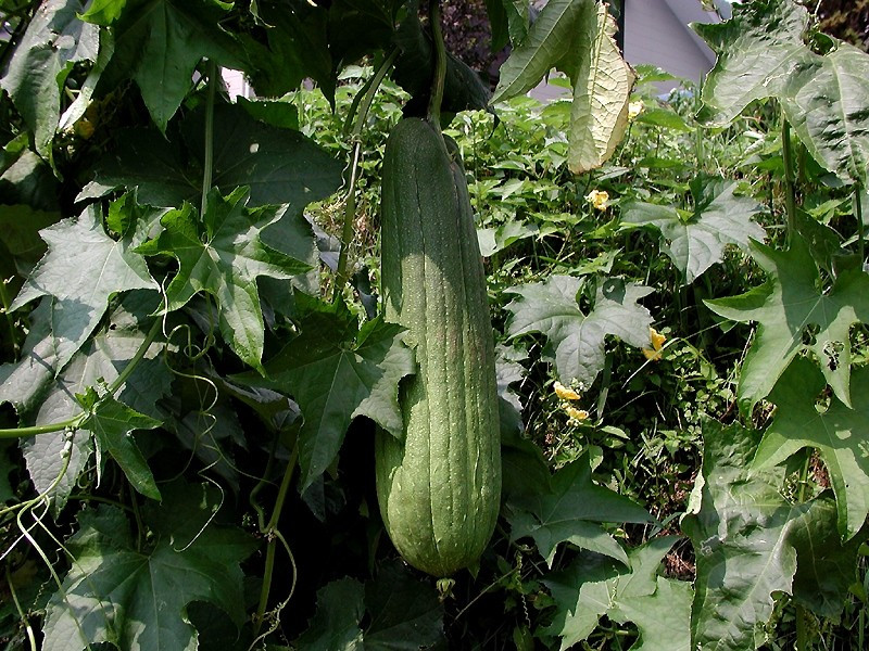 eco friendly loofah sponges really do grow out of the ground.