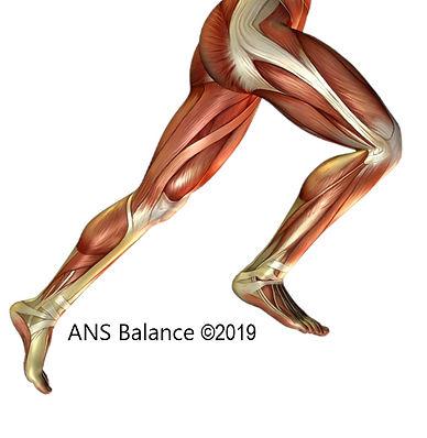 running legs musculoskeletal.jpg