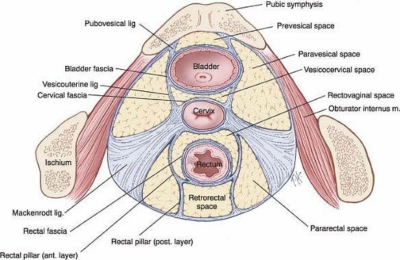 ligamentous true pelvis