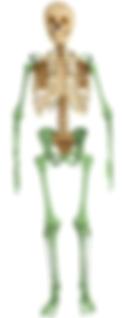 appendicular skeleton.png