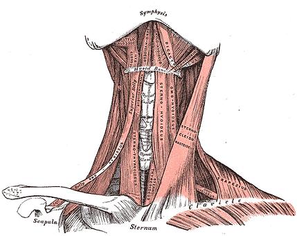 anterior throat musculature