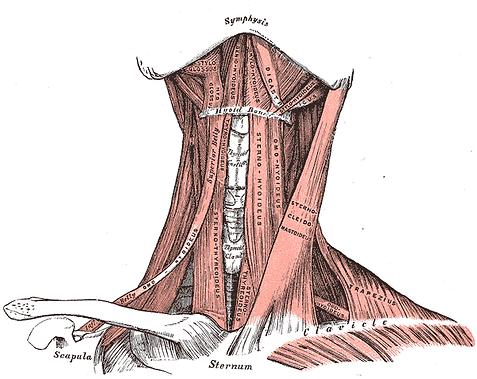 throat musculature