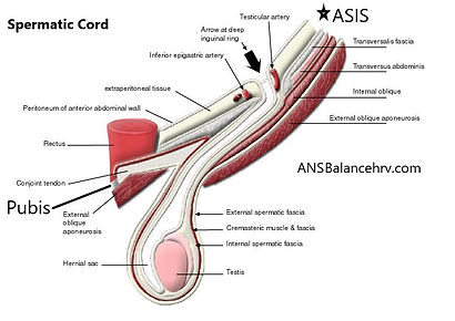 spermatic cord in inguinal canal