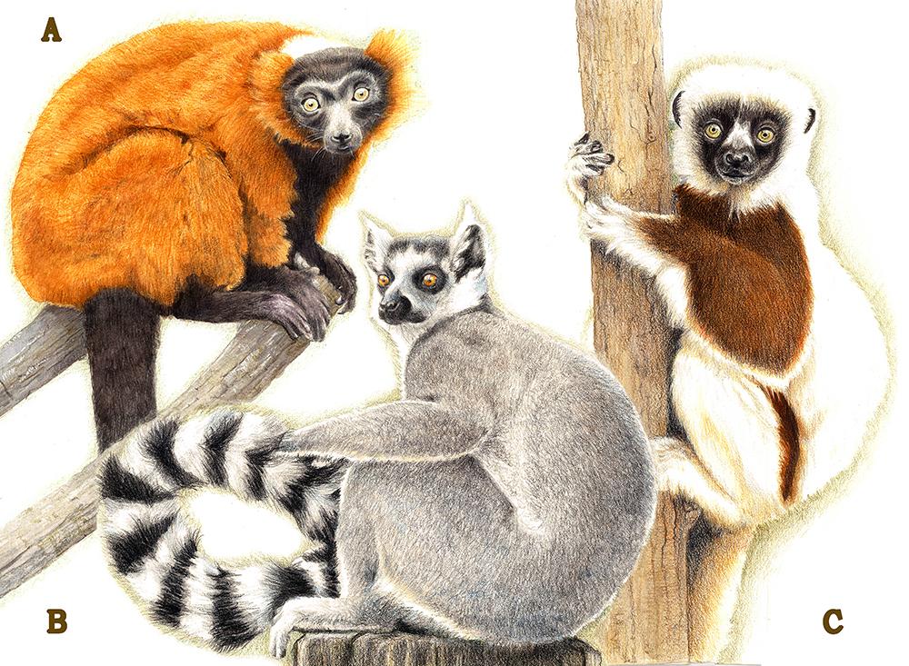 Madagascar Lemurs.