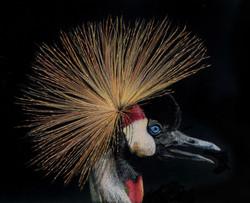 Grulla africana. Lápiz de color