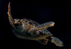 Tortuga marina. Lápiz de color