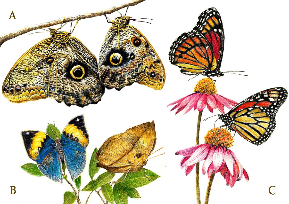 Mimetismo en mariposas.
