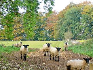 Mouton Irlandais tête noire