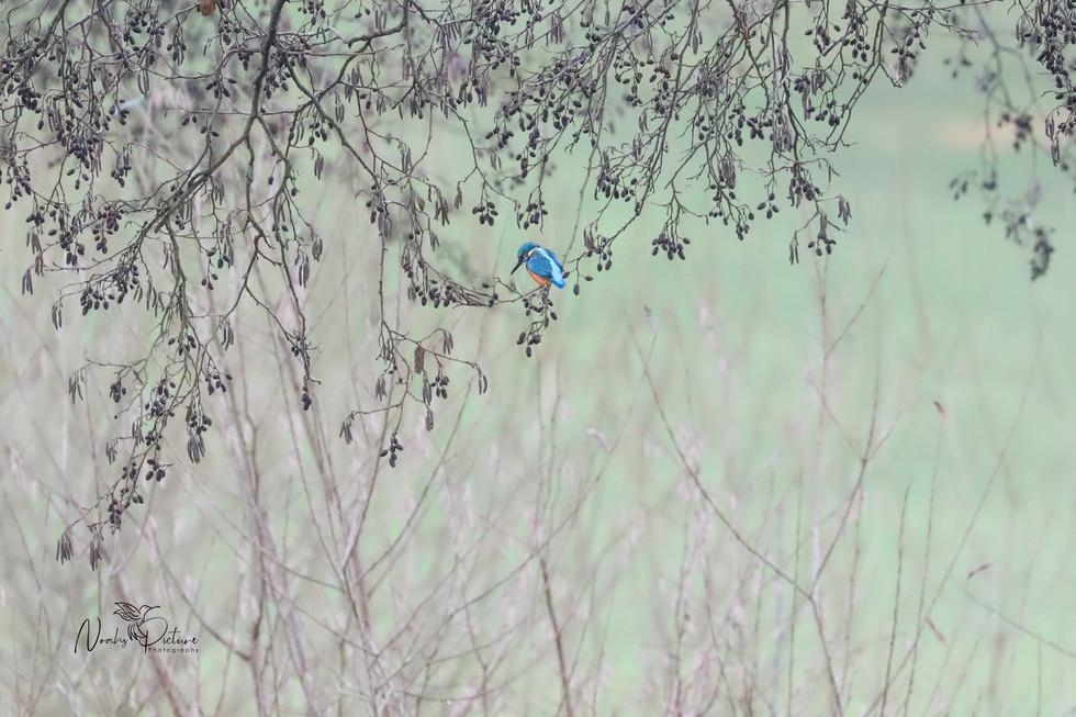 Eisvogel in der Landschaft